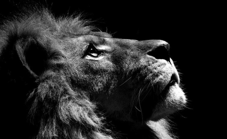 Lion Slide 2